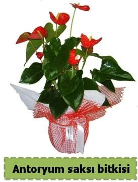 Antoryum saksı bitkisi satışı  İstanbul Ümraniye çiçek , çiçekçi , çiçekçilik