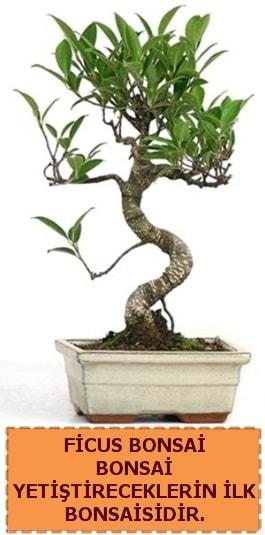 Ficus bonsai 15 ile 25 cm arasındadır  İstanbul Ümraniye çiçek yolla
