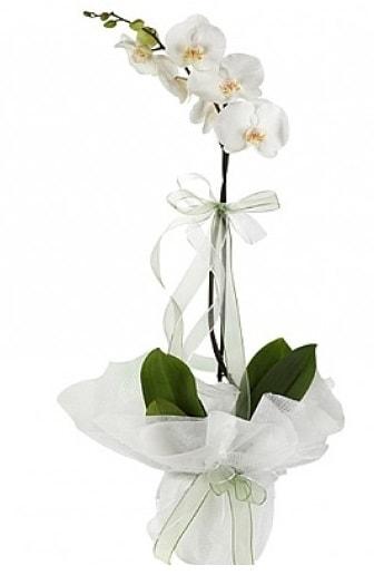 Tekli Beyaz Orkide  İstanbul Ümraniye hediye çiçek yolla
