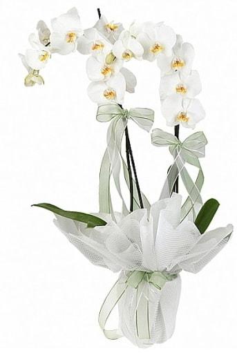 Çift Dallı Beyaz Orkide  İstanbul Ümraniye anneler günü çiçek yolla