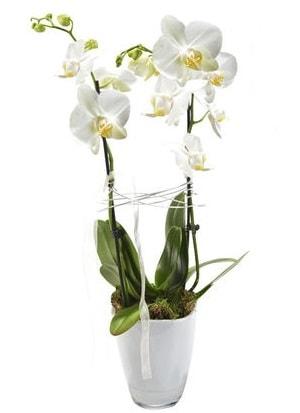2 dallı beyaz seramik beyaz orkide saksısı  İstanbul Ümraniye çiçek gönderme sitemiz güvenlidir