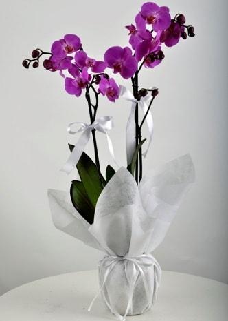 Çift dallı saksıda mor orkide çiçeği  İstanbul Ümraniye çiçek siparişi vermek