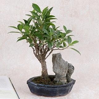 Japon ağacı Evergreen Ficus Bonsai  İstanbul Ümraniye çiçek gönderme sitemiz güvenlidir