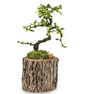 Doğal kütükte S bonsai ağacı  İstanbul Ümraniye çiçek satışı