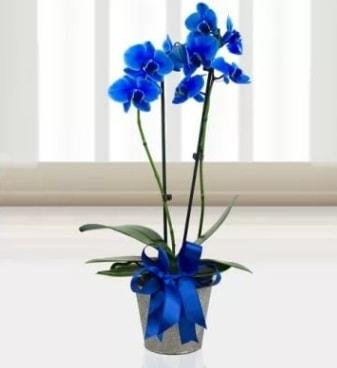 Çift dallı mavi orkide  İstanbul Ümraniye çiçek satışı