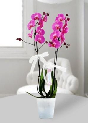 Çift dallı mor orkide  İstanbul Ümraniye çiçekçiler