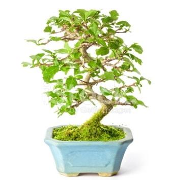 S zerkova bonsai kısa süreliğine  İstanbul Ümraniye İnternetten çiçek siparişi