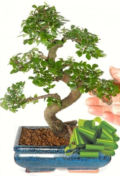 Yaklaşık 25 cm boyutlarında S bonsai  İstanbul Ümraniye çiçek siparişi sitesi