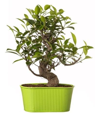 Ficus S gövdeli muhteşem bonsai  İstanbul Ümraniye çiçek siparişi sitesi