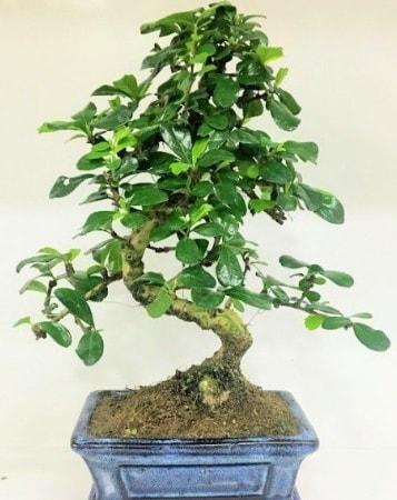 Zelkova S gövdeli Minyatür ağaç Bonzai  İstanbul Ümraniye çiçek gönderme